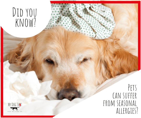 Do Dogs Suffer from Seasonal Allergies?