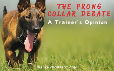 The Prong Collar Debate: A Trainer's Opinion